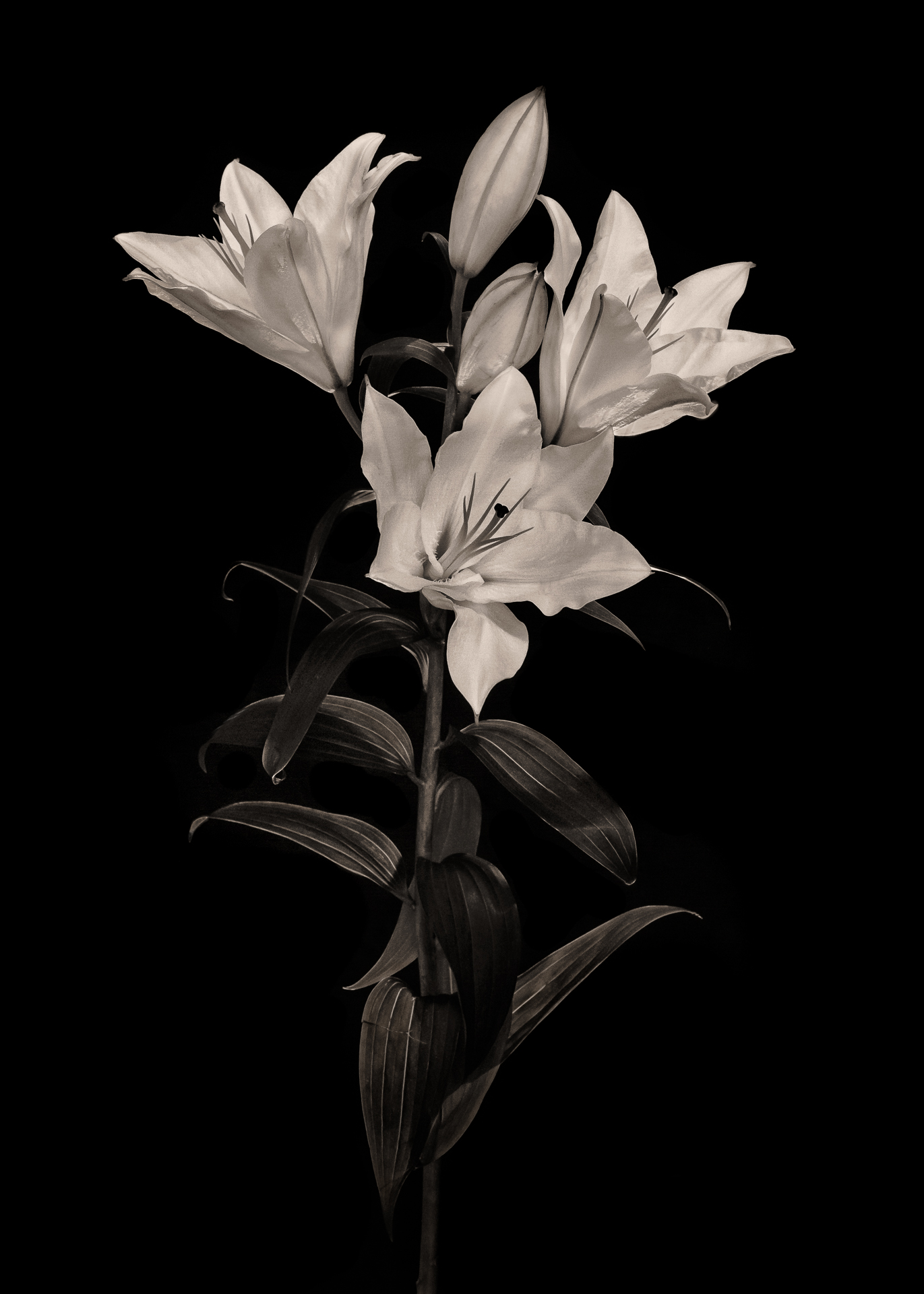 Lillies (Monochrome)